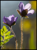 Common hepaticas (Blåsippor) - Albrunna