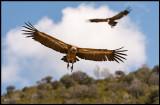 Griffon Vultures (Gåsgamar)