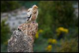 Egyptean Vulture (Smutsgam) - Sierra de Beumort