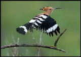 Hoopoe - (Härfågel)