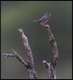Dartford Warbler (Provencesångare)