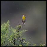 Singing in the rain   Serin (Gulhämpling)