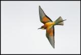 Bee-eater (Biätare)