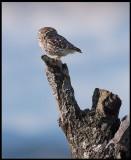 Little Owl (Minervauggla)