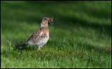 Hard to be a worm - Fieldfare at our lawn (Björktrast)