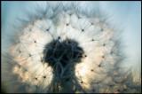 Dandelion (Maskros) - Grönhögen