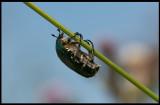 Flower Chafer climbing (Guldbagge) - Ventlinge