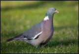 Common Wood Pigeon (Ringduva) in my garden