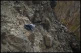 Wallcreeper (Murkrypare) near Xigalis - Azerbaijan