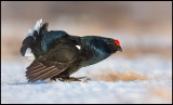 Black Grouse on display - the perfect bird....
