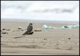 Hobby (lärkfalk) sitting at the beach of Caspian Sea