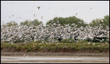 A selection of gulls, herons and some Gull-billed Terns - Azerbaijan