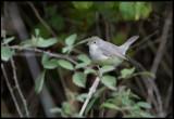 Ménétries's Warbler (Sylvia mystacea)  Östlig sammetshätta - Azerbaijan