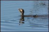 Cormorant cathing a Northern Pike (Storskarv med gädda) - Azerbaijan