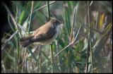 Reed Warbler (Rörsångare) - Azerbaijan