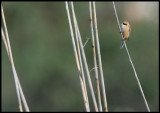 Penduline Tit (Pungmes) - Azerbaijan