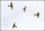 Blue-cheeked Bee-eater (Gröna biätare)  - Azerbaijan (COLLAGE)