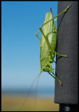 Male  Great Green Bush-Cricket (Grön Vårtbitare) - Ottenby