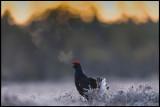 Lekking Birds