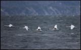 Mute Swans (Knölsvanar) crossing the ocean near Kullaberg