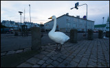Wooper Swan pre-breakfast townwalk in Reykjavik….