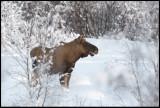 Talking moose - Svappavaara