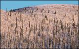 Winter forest (Fir and Birch) - Svappavaara