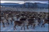 Reindeer corral at Rensjön