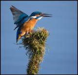 Male Kingfisher swallowing a fish - Berekfürdő Hungary