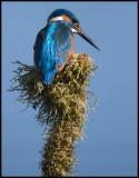 Male Kingfisher - Berekfürdő Hungary