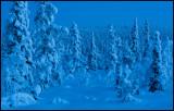Blue hour forest near Gällivare