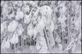 Deepfrozen forest - Älvsbyn