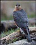 Male Eurasian Sparrowhawk (Sparvhök) - Turkeve Hungary