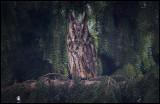 Long-eared Owl (Hornuggla) - Turkeve Hungary