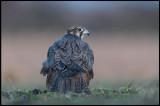 Saker (Tatarfalk - Falco cherrug) - Hungarian puszta