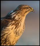 Common Buzzard (Ormvråk) - Hungary