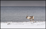 Reindeers are a common sight at Varanger