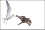 A Herring Gull attacking a Gyr Falcon