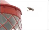 An immature Gyr Falcon visiting the light-house at Hornøya