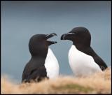 Razorbill courtship