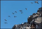 Puffins in flight near breeding place