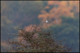Great Grey Shrike and autumn colors (Varfågel) - Ottenby Lund
