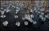 Ice-formations on reed - Gunnön Blekinge