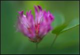 Skogsklöver (Trifolium medium) - Lönsås