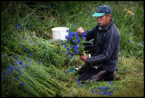 Guest worker preparing Cornflower (Blåklint) for sale - Arontorp