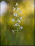 Lesser Butterfly Orchid (Nattviol) - a perfect midsummer night - Karryd
