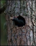 Young Black Woodpecker (Spillkråka) - Ope Jämtland