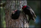 Male Black Woodpecker feeding young (Spillkråka) - Ope Jämtland