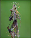Two mayflies caught by a spider on the top of a straw of grass