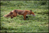 A Red Fox looking for Voles in mown hay - Kramfors